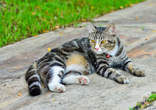 Thailand cat hybrids. In Nonthaburi. It is blackcat cute cat and cute pat Stock Image