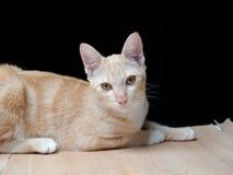 Thailand cat Stock Image