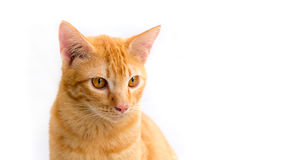 Thailand Cat Royalty Free Stock Photo