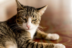 Thailand cat looking angrily floor corridor. Stock Images