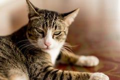 Thailand cat looking angrily floor corridor. Stock Photo