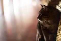 Thailand cat looking suspiciously floor corridor. Stock Image