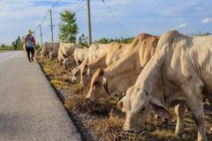 Thailand cattle crowd Stock Photos