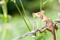 Thailand chameleon on a cement pole. Chameleon on a cement pole Stock Photos