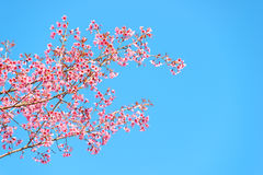 Thailand Cherry Blossom Stock Photo