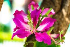 Thailand Chongkho blommor royaltyfri foto
