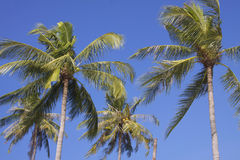 Thailand: Coconut palms Stock Photography