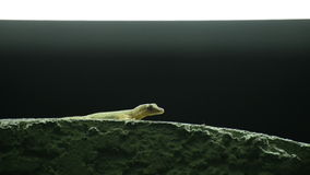 Thailand common house gecko waiting to hunt fruit fly stock footage
