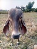 Thailand cow Royalty Free Stock Photos