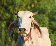 Thailand cow asia animal forest Royalty Free Stock Images