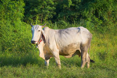 Thailand cow asia animal forest Stock Images