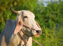 Thailand cow asia animal forest Royalty Free Stock Photo