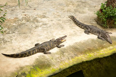 THAILAND Crocodile Farm and Zoo Stock Images