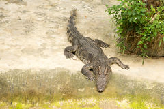 THAILAND Crocodile Farm and Zoo Stock Photos