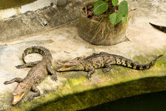 THAILAND Crocodile Farm and Zoo Royalty Free Stock Image