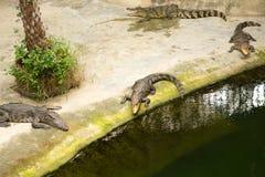 THAILAND Crocodile Farm and Zoo Royalty Free Stock Photography