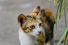 Thailand cute cat resting habits of cute pets. Cat breeds Thaila. Nd Royalty Free Stock Photo