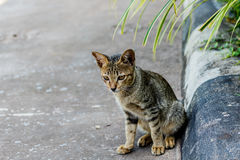 Thailand cute cat resting habits of cute pets. Cat breeds Thaila. Nd Stock Image