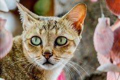 Thailand cute cat resting habits of cute pets. Cat breeds Thaila Stock Images