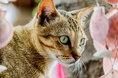 Thailand cute cat resting habits of cute pets. Cat breeds Thaila. Nd Royalty Free Stock Photography