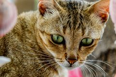 Thailand cute cat resting habits of cute pets. Cat breeds Thaila. Nd Royalty Free Stock Photos