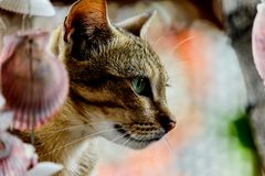 Thailand cute cat resting habits of cute pets. Cat breeds Thaila. Nd Stock Photo
