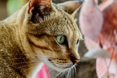 Thailand cute cat resting habits of cute pets. Cat breeds Thaila. Nd Stock Photography