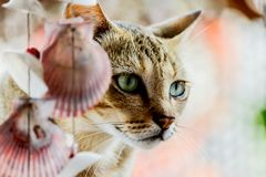 Thailand cute cat resting habits of cute pets. Cat breeds Thaila Royalty Free Stock Images