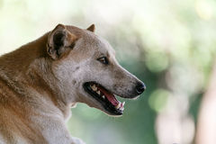 Thailand dog breeds are staring. And blur background Stock Images