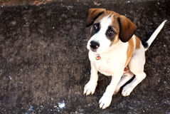 Thailand dog,closeup eyes dog. Thailand dog closeup eyes dog royalty free stock images