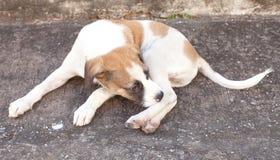 Thailand dog,closeup eyes dog. Thailand dog closeup eyes dog stock photos