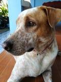 Thailand dog. Expression of eye Thailand dog royalty free stock photography
