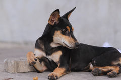 Thailand Dog Looking a Hope - Stock Images