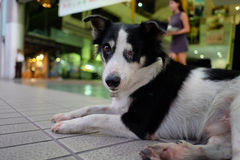 Thailand Dog (one eye)  Looking a Hope Royalty Free Stock Photo