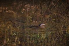 Thailand-Drache schwimmt im Fluss Lizenzfreie Stockfotos