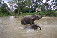 Thailand elefanter plaskar Arkivbild