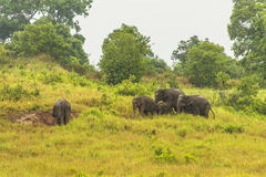Thailand elephant eat a lot of deals together in the rainy season. Khao Yai National Park, Thailand elephant eat a lot of deals together in the rainy season stock photography
