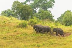 Thailand elephant eat a lot of deals together in the rainy season. Khao Yai National Park, Thailand elephant eat a lot of deals together in the rainy season stock photo