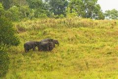 Thailand elephant eat a lot of deals together in the rainy season. Khao Yai National Park, Thailand elephant eat a lot of deals together in the rainy season royalty free stock photos