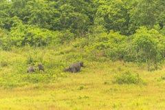 Thailand elephant eat a lot of deals together in the rainy season. Khao Yai National Park, Thailand elephant eat a lot of deals together in the rainy season royalty free stock images