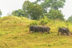 Thailand elephant eat a lot of deals together in the rainy season. Khao Yai National Park, Thailand elephant eat a lot of deals together in the rainy season stock photos
