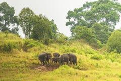 Thailand elephant eat a lot of deals together in the rainy season. Khao Yai National Park, Thailand elephant eat a lot of deals together in the rainy season royalty free stock photo