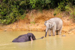 Thailand elephant. Wild elephant bathing in the tropical forest, Kuiburi national park, Thailand Royalty Free Stock Photos