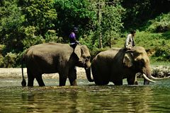 Thailand elephants Royalty Free Stock Images