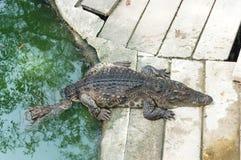 thailand för stor krokodil för område stor zoo Arkivfoton