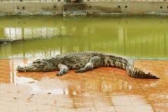 thailand för stor krokodil för område stor zoo Thailand krokodil askfat Sötvattens- krokodil arkivbild