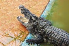 thailand för stor krokodil för område stor zoo Thailand krokodil askfat Sötvattens- krokodil royaltyfri foto