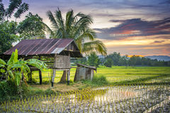 Thailand Farm. Rice Farm Thailand In The Evening Royalty Free Stock Photos