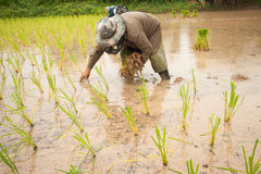 Thailand farmer. S are farming rice with black lace Royalty Free Stock Photo