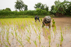 Thailand farmer. S are farming rice with black lace Stock Images